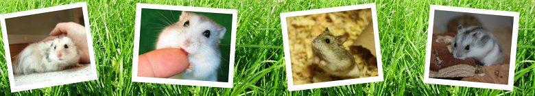 Hamster-Arten.de - Die Seite über Hamster